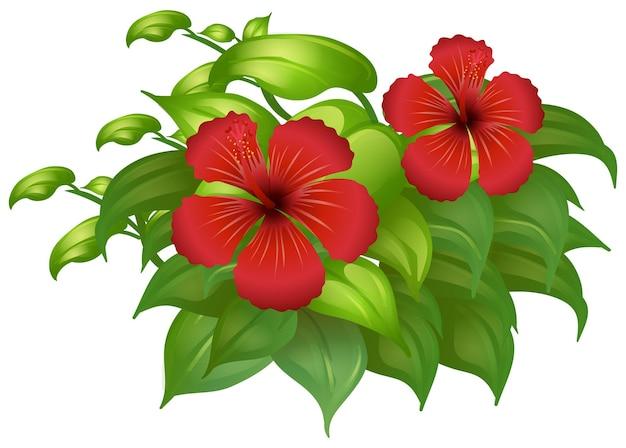 Czerwone kwiaty hibiskusa na zielonym krzaku