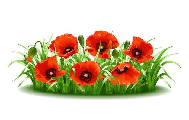 Czerwone maki w trawie na białym tle. ilustracja wektorowa