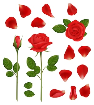 Czerwone róże. piękne romantyczne kwiaty pąki i płatki pozostawia natura rośliny ślubne wektor realistyczna kolekcja. ilustracja roślin kwiatowych, czerwony płatek róży