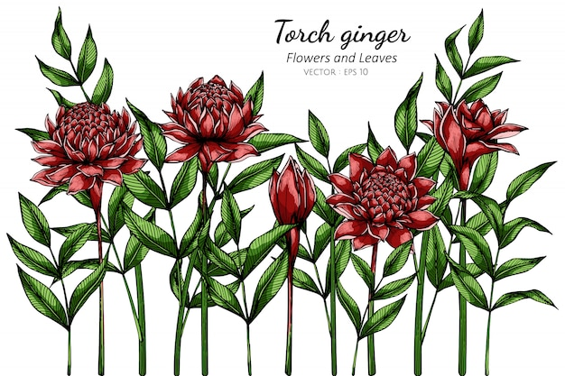 Czerwonej pochodni imbirowy kwiatu i liścia rysunkowa ilustracja z kreskową sztuką na bielu