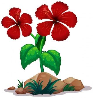 Czerwony hibicus kwitnie na białym tle