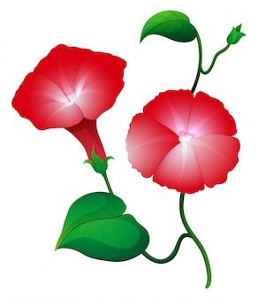 Czerwony ranek chwały kwiat na winogradzie
