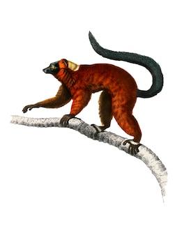 Czerwony ruffed lemur (varecia rubra) zilustrowany przez charlesa dessalines d orbigny (1806-1876).