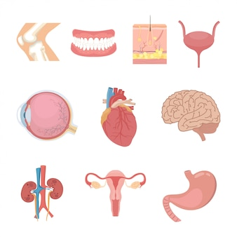 Części ludzkiego ciała i narządów wewnętrznych.