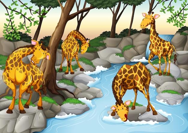 Cztery żyrafy wody pitnej z rzeki