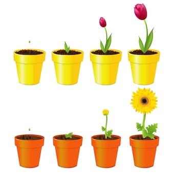 Daisy i tulipan w doniczkach, proces wzrostu, na białym tle