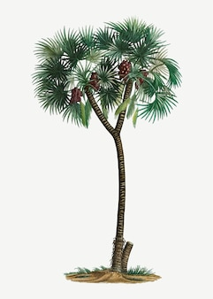 Daktylowa palma