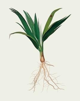 Daktylowy drzewko palmowe od pomona italiana ilustraci