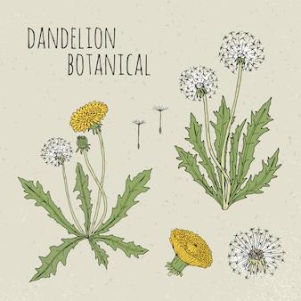 Dandelion medyczna botaniczna ilustracja. roślin, kwiatów, liści, nasion, ręcznie rysowane zestaw korzenia. vintage kolorowy szkic.