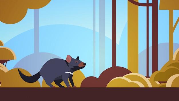 Diabeł tasmański chodzenie w lesie australijski dzikie zwierzę dzikie zwierzęta fauna pojęcie pejzaż poziomy
