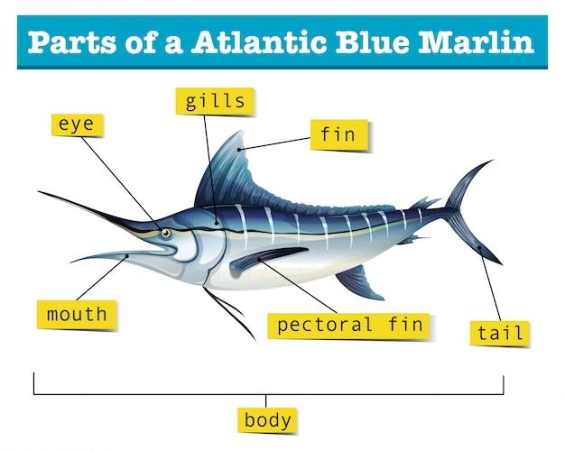 Diagram przedstawiający części błękitnego marlina atlantyckiego