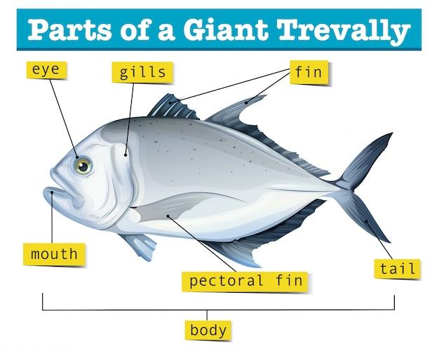 Diagram przedstawiający części giganta trevally