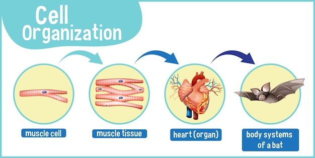 Diagram przedstawiający organizację komórek w nietoperzu