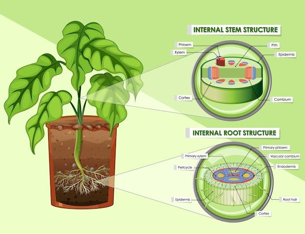 Diagram przedstawiający strukturę łodygi i korzenia