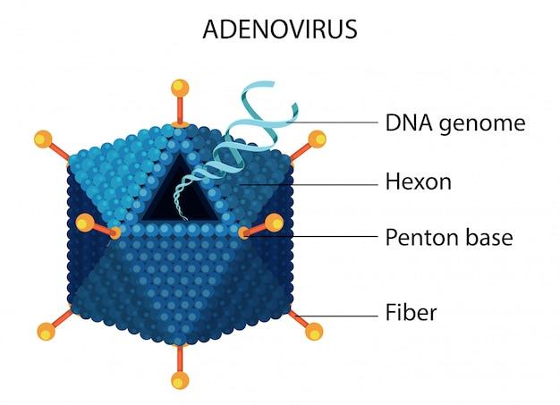 Diagram struktury adenowirusa