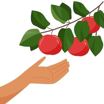 Dłoń i gałąź jabłoni zbieranie jabłek zbieranie gałązek z dojrzałym jabłkiem