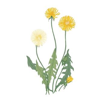 Dmuchawiec z kwiatami i głowicami nasion na białym tle