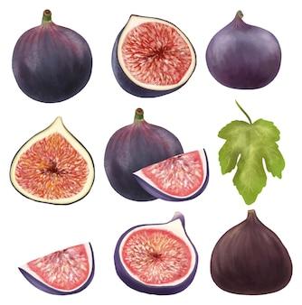 Dojrzałe figi i liście drzewa figowego clipart ręcznie rysowane na białym tle ilustracja na białym tle
