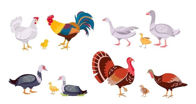 Drób hodowlany, rodzina ptaków domowych, kury i koguty. indyk z pisklęciem. gęsi kreskówka, kaczki, kaczątko i kurczak. zestaw wektor zwierząt gospodarskich. wiejskie dziecko i ptaki rodzicielskie na białym tle