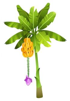Drzewo bananowe tropikalnej dżungli z owoców na białym tle