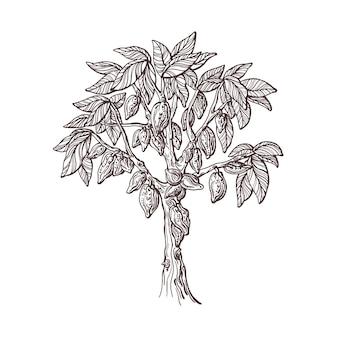 Drzewo kakaowe z posadzonymi nasionami owoców ręcznie rysowany szkic organiczna czekolada