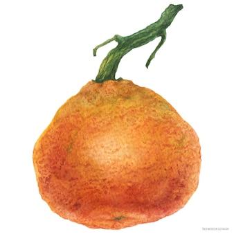 Duża świeża mandarynka na gałąź