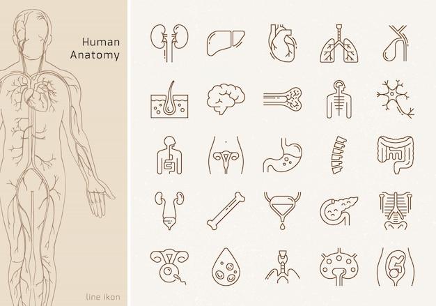 Duży zestaw liniowych ikon ludzkich narządów wewnętrznych z podpisami. nadaje się do druku, stron internetowych i prezentacji.