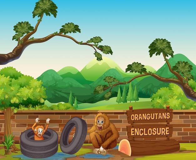 Dwa orangutany w otwartym zoo