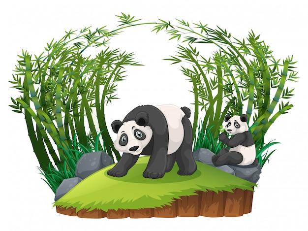 Dwie pandy w bambusowym lesie