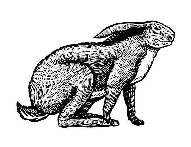 Dziki zając lub królik siedzi na białym tle
