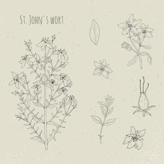 Dziurawiec medyczny botaniczny ilustracja na białym tle