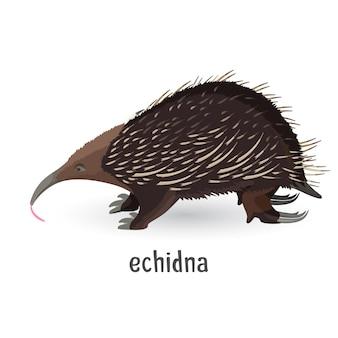 Echidna pokryta szorstkimi włosami i ostrymi igłami. silne małe zwierzę z dużymi pazurami do kopania ziemi.