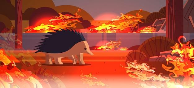 Echidna ucieka przed pożarami w australii zwierzęta giną w pożarze pożary buszu katastrofa naturalna koncepcja intensywne pomarańczowe płomienie poziome