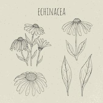 Echinacea medyczna botaniczna odosobniona ilustracja. roślin, kwiatów, liści ręcznie rysowane zestaw. szkic starodawny szkic.