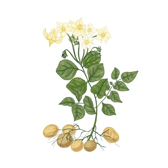 Elegancki naturalny rysunek ziemniaka z kwiatami, korzeniami i bulwami