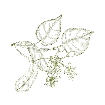 Elegancki rysunek liści lipy, pięknie kwitnących kwiatów lub kwiatostanów i pąków. roślin stosowanych w fitoterapii ręcznie rysowane z liniami konturu na białym tle.