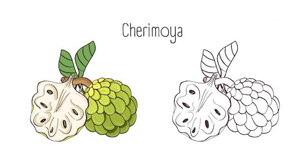 Eleganckie kolorowe i monochromatyczne rysunki konturowe cherimoya lub custard apple. całe i podzielone dojrzałe soczyste pyszne owoce na białym tle.
