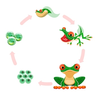 Etapy rozwoju płazów: jaja lub żabie ikrę, zarodki, kijanki, żaby