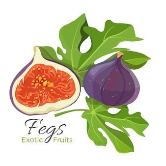 Ficus owoce i gałąź z liśćmi. krzew drzewny lub roślina pnąca z dużego rodzaju, w tym figi i gumy. uprawa w dojrzałych owocach tropikalnych