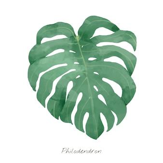 Filodendronowy liść odizolowywający na białym tle