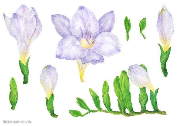 Fioletowe kwiaty i pąki frezji, akwarela