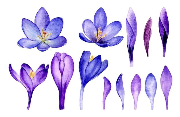Fioletowe kwiaty szafranu akwarela ilustracja botaniczna