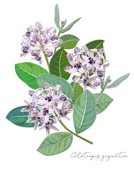 Fioletowy kwiat, kwiat calotropis gigantea lub kwiat korony