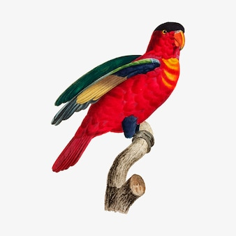 Fioletowy lory