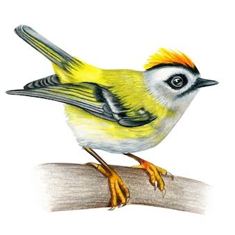 Firecrest ręcznie rysowane ptak akwarela kolorowe kredki