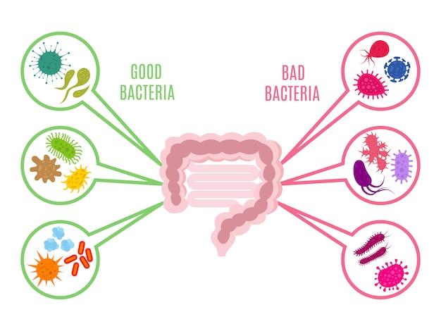 Flora jelitowa zdrowie jelit z bakteriami i probiotykami na białym tle