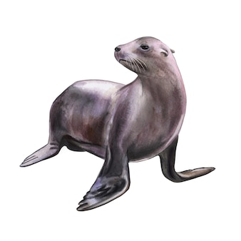 Futro foka lew morski na białym tle akwarela kolekcje ilustracji szablon