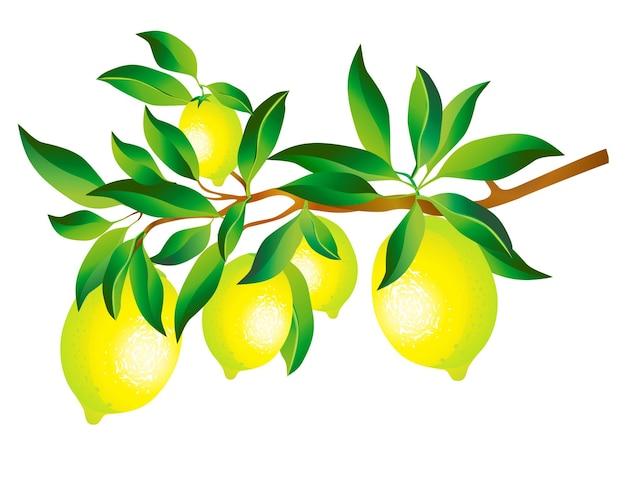 Gałąź cytryny z liśćmi na białym tle