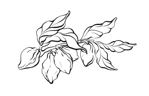 Gałąź drzewa kakaowego z liści fasoli szkic linii sztuki botanicznej ręcznie rysować projekt