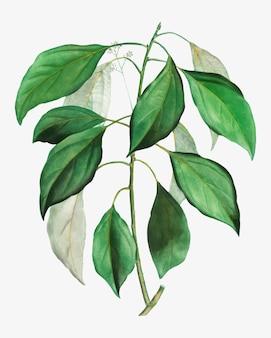 Gałąź drzewa kamforowego